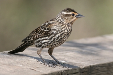 female-red-winged-blackbird